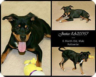 Rottweiler Mix Puppy for adoption in Lufkin, Texas - Justice