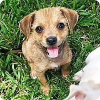 Adopt A Pet :: Josie - Sugar Land, TX
