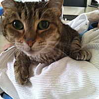 Adopt A Pet :: Tiger Ossy - Laguna Woods, CA
