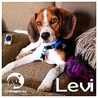 Adopt A Pet :: Levi - Novi, MI
