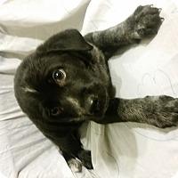 Adopt A Pet :: Elmio - Detroit, MI