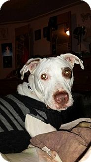Pit Bull Terrier Mix Dog for adoption in Mt. Clemens, Michigan - Baby