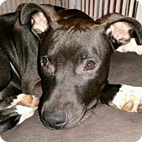 American Pit Bull Terrier Dog for adoption in Arlington, Washington - Rosebud, A special needs Puppy