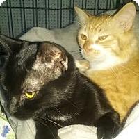 Adopt A Pet :: Licorice - Harrisburg, NC