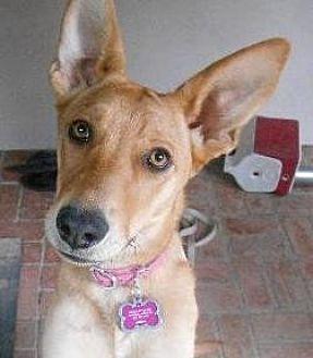 Carolina Dog/Shepherd (Unknown Type) Mix Dog for adoption in Marina Del Ray, California - GISELLE - courtesy post