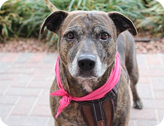 Boxer/Plott Hound Mix Dog for adoption in Las Vegas, Nevada - LITTLE ONE