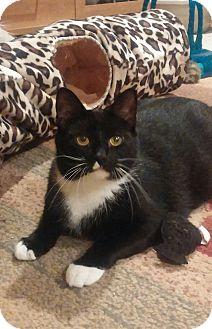 Domestic Shorthair Cat for adoption in Lenhartsville, Pennsylvania - Linus