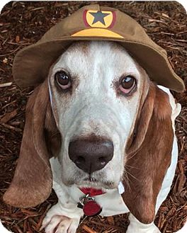 Basset Hound Dog for adoption in Fort Lauderdale, Florida - Snoopy