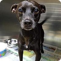 Adopt A Pet :: Licorice - Miami, FL
