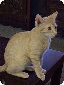Domestic Shorthair Kitten for adoption in Devon, Pennsylvania - Selena