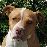 Pit Bull Terrier Mix Dog for adoption in Monroe, Michigan - Mutter