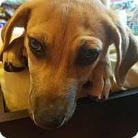 Adopt A Pet :: Lucy Lou - Hagerstown, MD