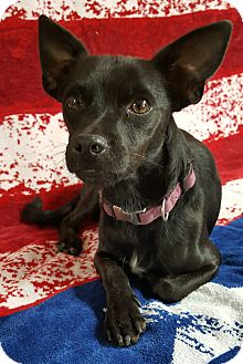 Chihuahua Mix Dog for adoption in Yucaipa, California - Lochte