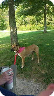Labrador Retriever/Shepherd (Unknown Type) Mix Dog for adoption in Oakland, Michigan - Ellie