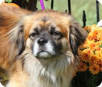 Spaniel (Unknown Type)/Tibetan Spaniel Mix Dog for adoption in Marietta, Ohio - Buddah (Neutered)