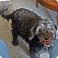 Poodle (Miniature)/Terrier (Unknown Type, Small) Mix Dog for adoption in Toronto, Ontario - Buddy