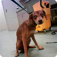 Rat Terrier Mix Puppy for adoption in Conroe, Texas - BLAZE
