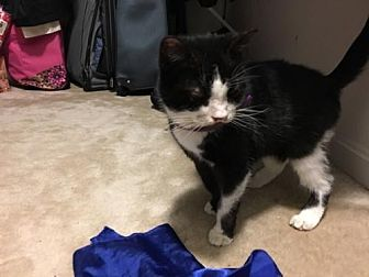 Domestic Shorthair Cat for adoption in Herndon, Virginia - Lila