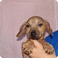 Adopt A Pet :: Samson - Oviedo, FL
