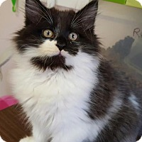 Domestic Longhair Kitten for adoption in Waxhaw, North Carolina - Robin