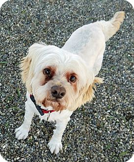 Poodle (Miniature) Dog for adoption in Lompoc, California - Sid