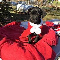 Adopt A Pet :: Ratatoulie - Monroe, NC