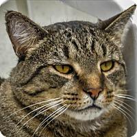Adopt A Pet :: Apache - Alexandria, VA