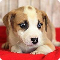 Adopt A Pet :: Zara - Waldorf, MD