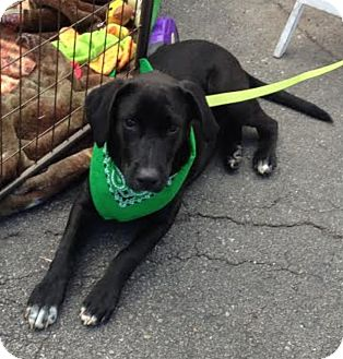 Labrador Retriever Mix Puppy for adoption in Blountstown, Florida - Trooper