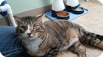 Domestic Shorthair Cat for adoption in Cody, Wyoming - Meatball