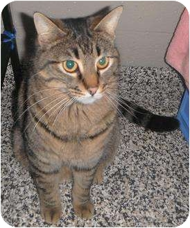 Domestic Shorthair Cat for adoption in Jackson, Michigan - Baxter