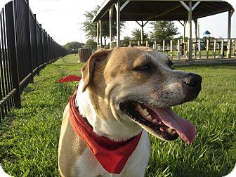 Labrador Retriever Puppies for Sale - Adoptapet.com