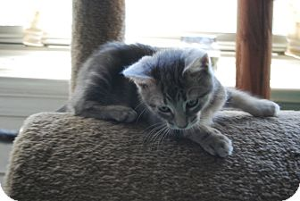 Domestic Shorthair Kitten for adoption in Jenkintown, Pennsylvania - KoKo