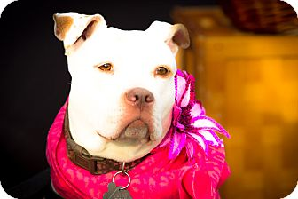 American Staffordshire Terrier Mix Dog for adoption in Freeport, New York - Bianca