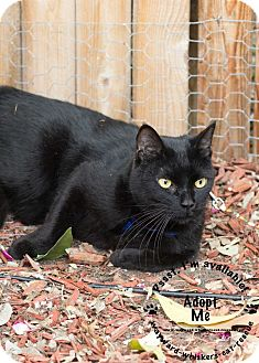 American Shorthair Cat for adoption in San Antonio, Texas - Rio