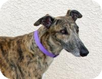 Greyhound Dog for adoption in Tucson, Arizona - Tulsa