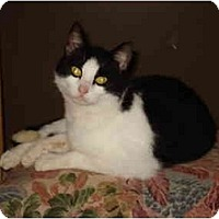 Domestic Shorthair Cat for adoption in Tomball, Texas - Twoey