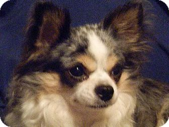 Chihuahua Mix Dog for adoption in Tampa, Florida - BANDIT (S&R) KW