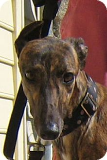 Greyhound Dog for adoption in Oak Ridge, North Carolina - Jill
