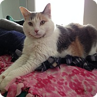 Calico Cat for adoption in Chicago, Illinois - Noelle