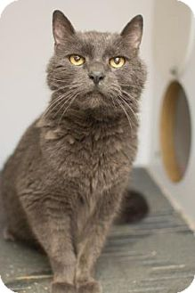 Domestic Shorthair Cat for adoption in Baltimore, Maryland - Poppy