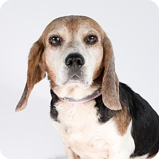 Beagle Dog for adoption in St. Louis Park, Minnesota - Toodles