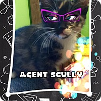 Domestic Shorthair Kitten for adoption in Olive Branch, Mississippi - AGENT SCULLY