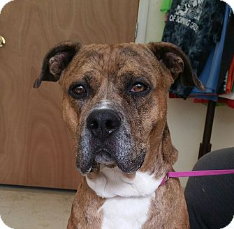 Mastiff/Boxer Mix Dog for adoption in Washingtonville, New York - Winston