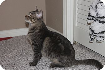 Domestic Shorthair Kitten for adoption in Houston, Texas - Sparrow (special needs)