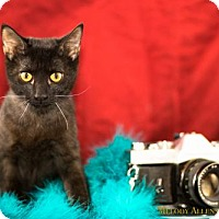 Adopt A Pet :: Grizabella - Glastonbury, CT