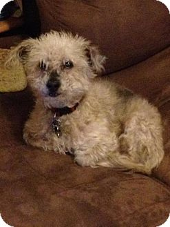 Poodle (Standard)/Chinese Crested Mix Dog for adoption in Freeport, New York - Bisquit