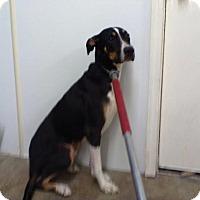 Labrador Retriever/Hound (Unknown Type) Mix Dog for adoption in Upper Sandusky, Ohio - RALPH