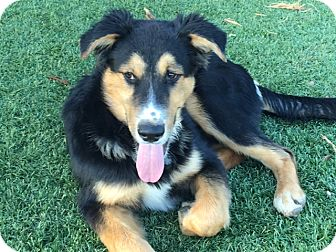 Border Collie Mix Puppy for adoption in San Pedro, California - CHET
