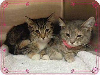 Domestic Shorthair Kitten for adoption in Marietta, Georgia - OLGA & POLA
